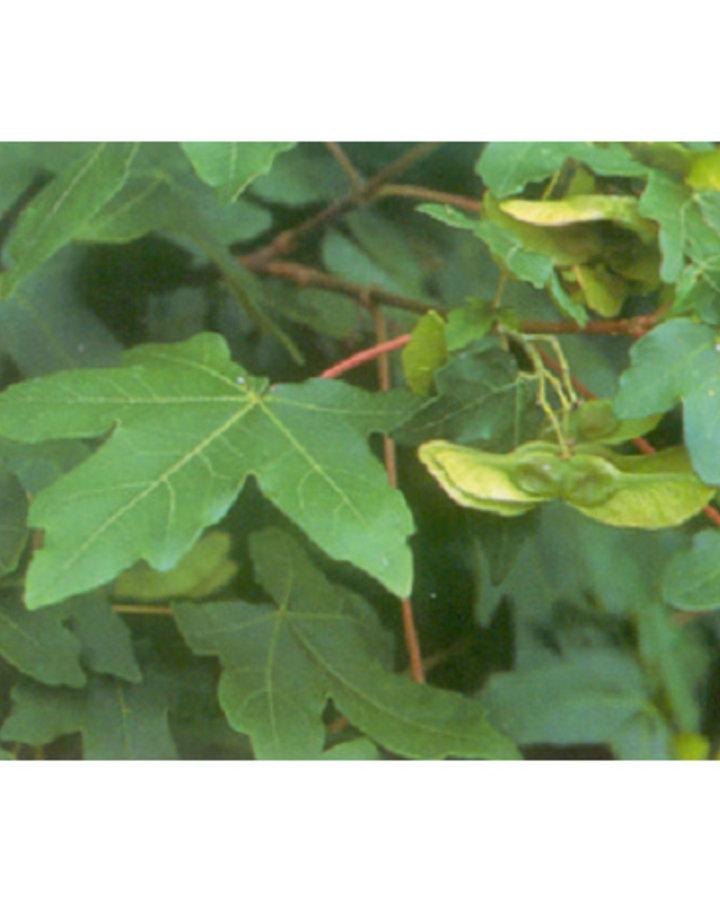 Acer campestre / Spaanse aak/veldesdoorn