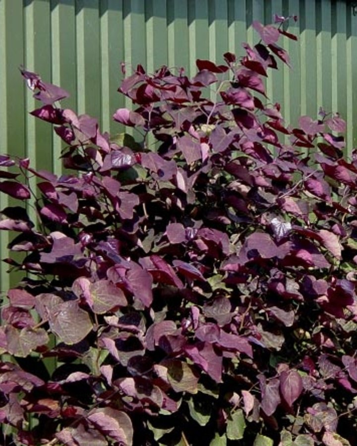 Cercis canadensis 'Forest Pansy' / Judasboom