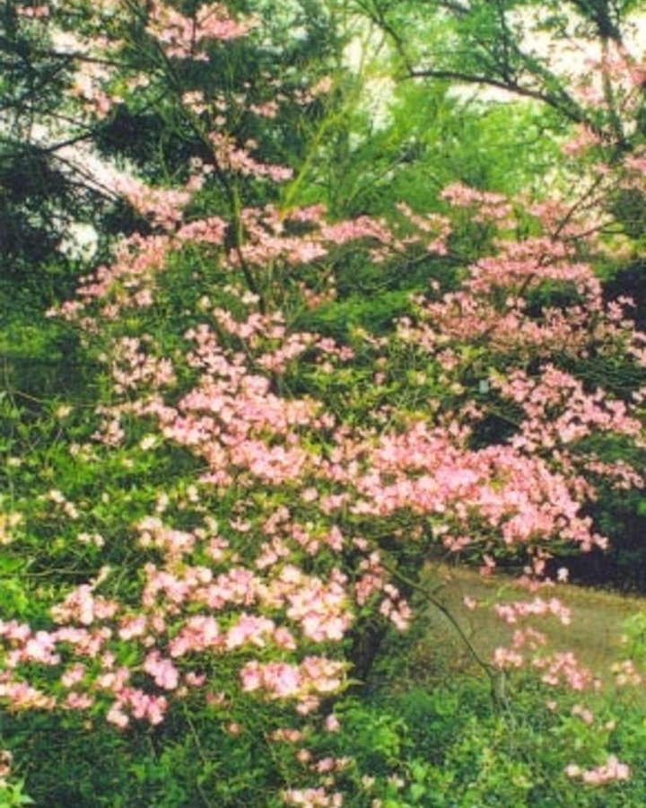 Cornus florida rubra / Kornoelje