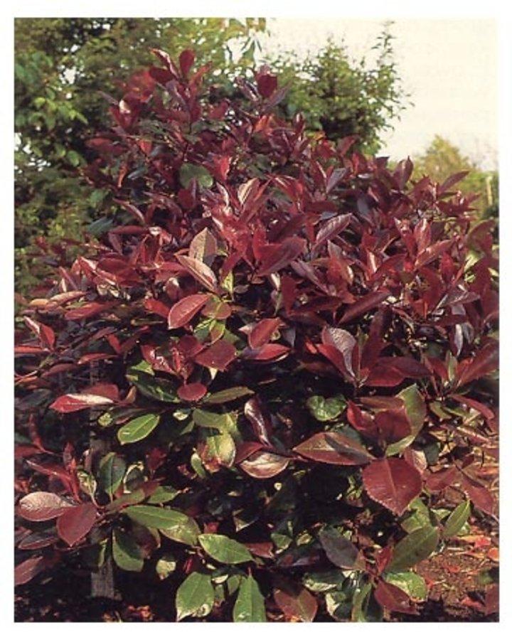 Photinia fraseri 'Red Robin' / Glansmispel