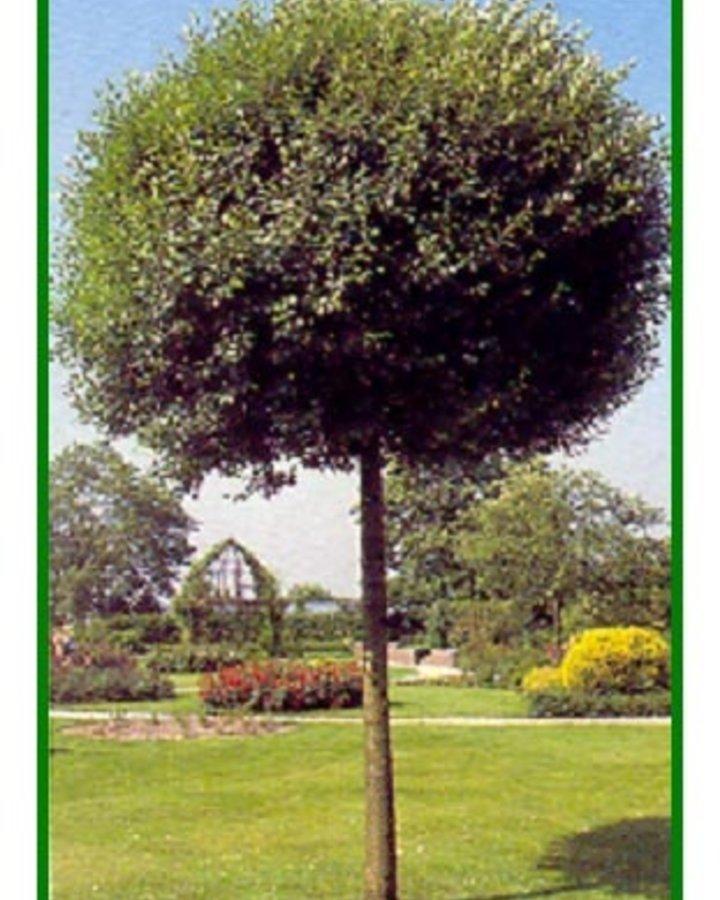 Prunus eminens 'Umbraculifera' | Bolsierkers  | Laanboom wortelgoed