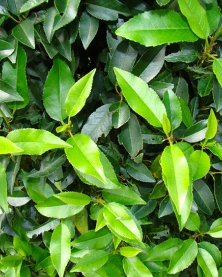 Prunus lusitanica 'Angustifolia'