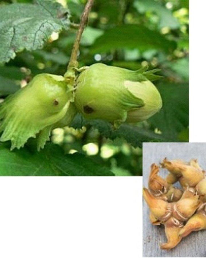 Corylus a. 'Cosford' / Grootvruchtige hazelnoot
