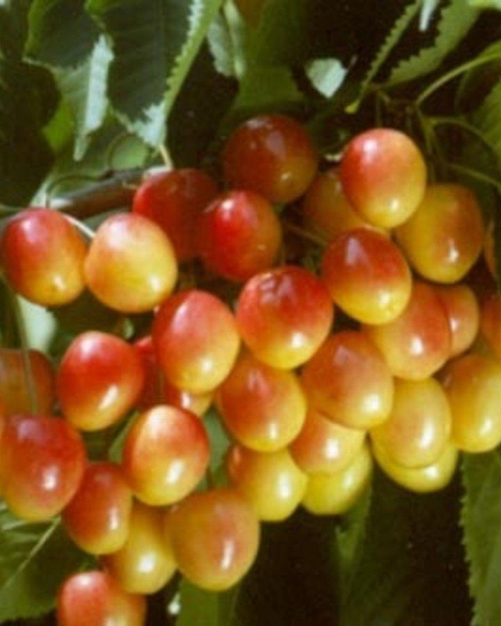 Prunus a. 'Bigarreau Napoleon'   Blonde kers   Wortelgoed