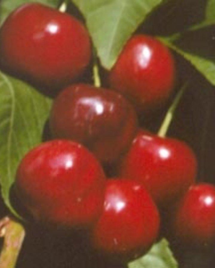 Prunus a. 'Merton Premier'   Kersenboom   Wortelgoed