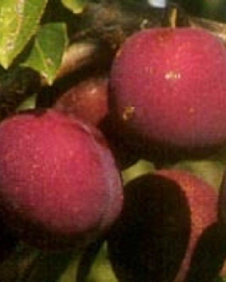 Prunus d. 'Anna Späth'