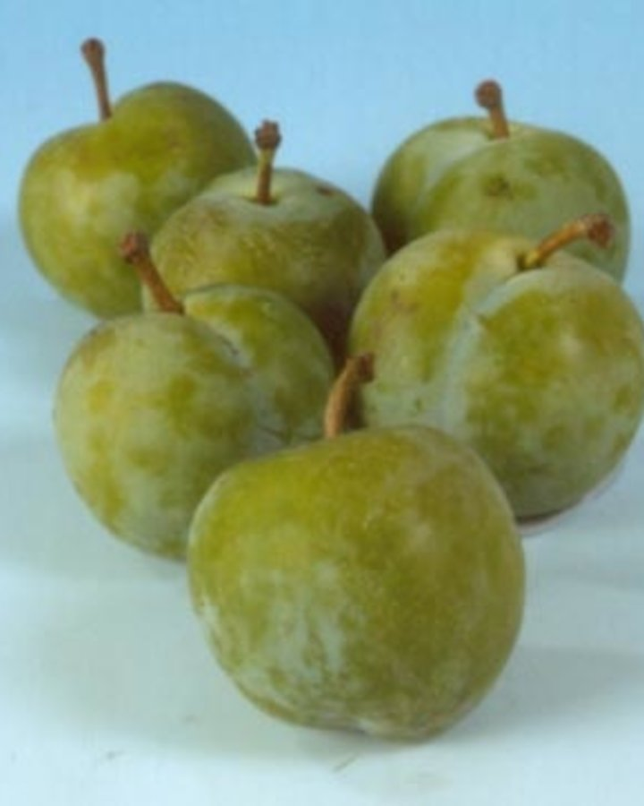 Prunus d. 'Reine Claude Verte' / Groentje