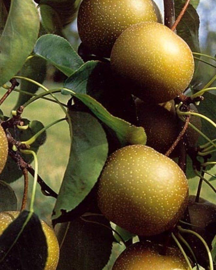 Pyrus pyrifolia 'Kosui' / Nashi of Asiatische peer