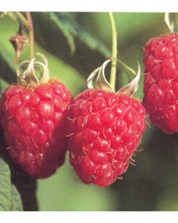 Rubus idaeus 'Schönemann' / Zomer framboos
