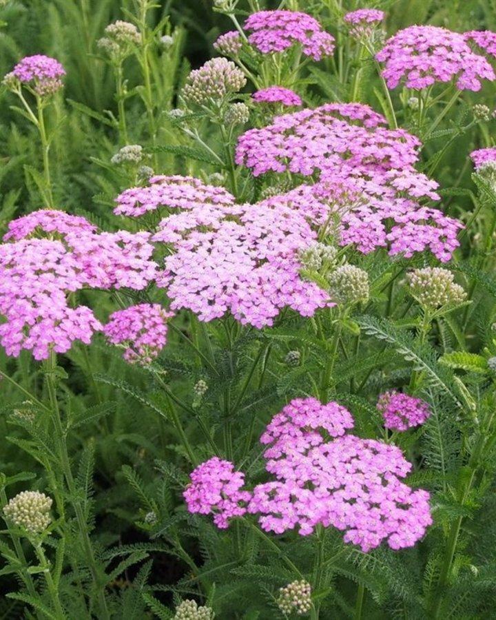 Achillea mil. 'Lilac Beauty'   duizendblad   Vaste plant