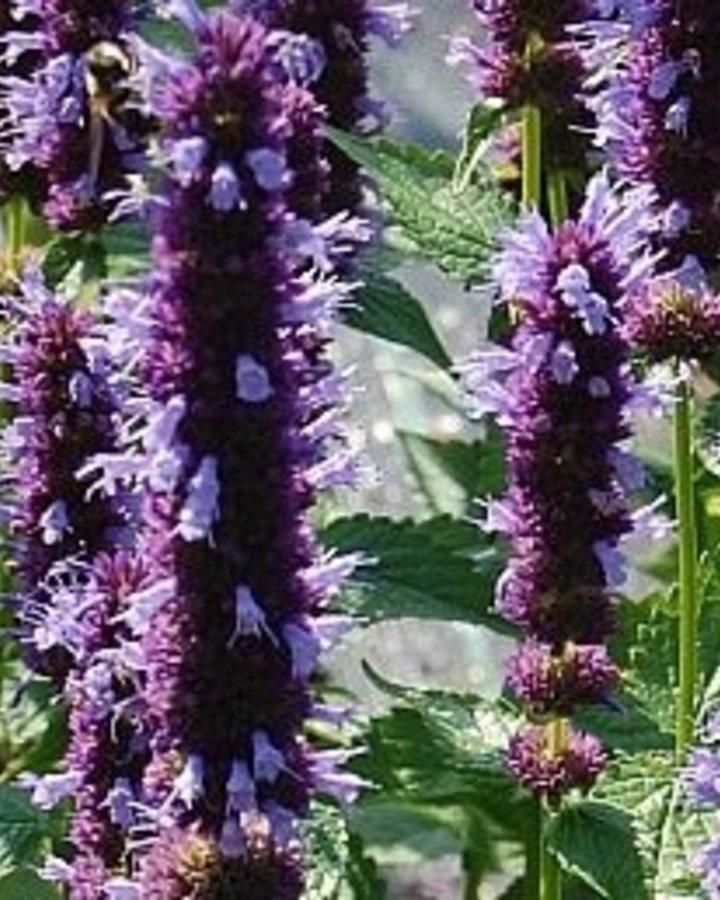 Agastache 'Black Adder' | Dropplant | Vaste plant