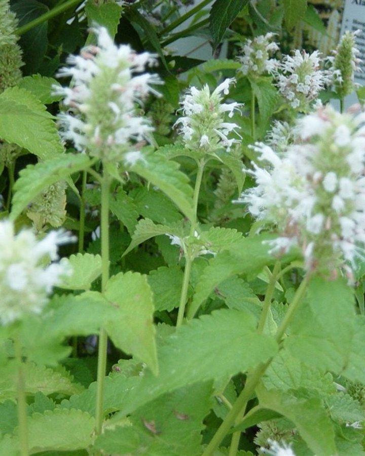 Agastache rugosa 'Alabaster'  | Vaste plant