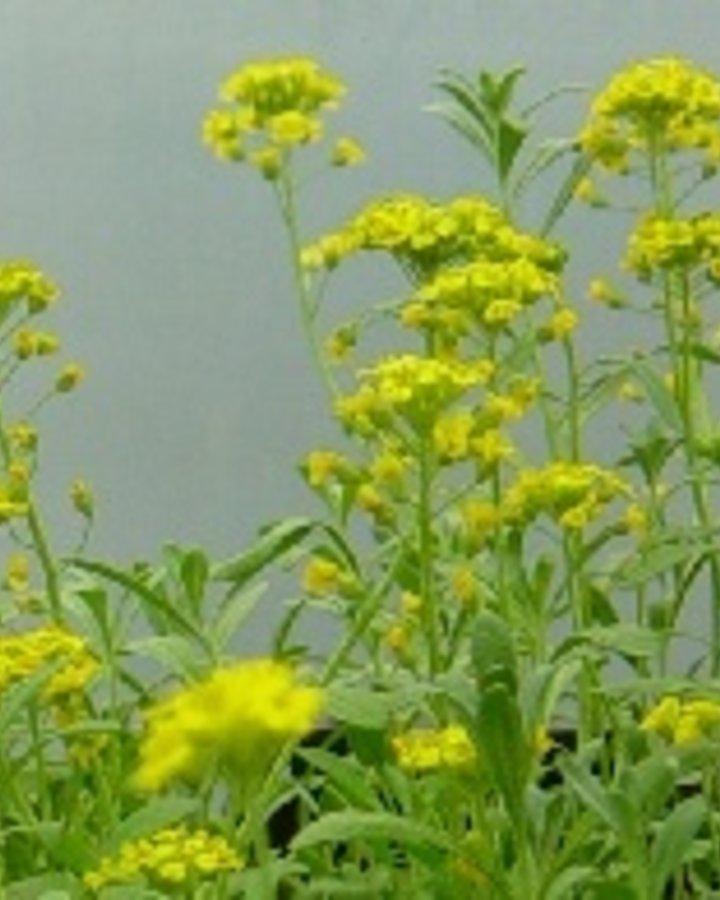 Alyssum montanum / Schildzaad