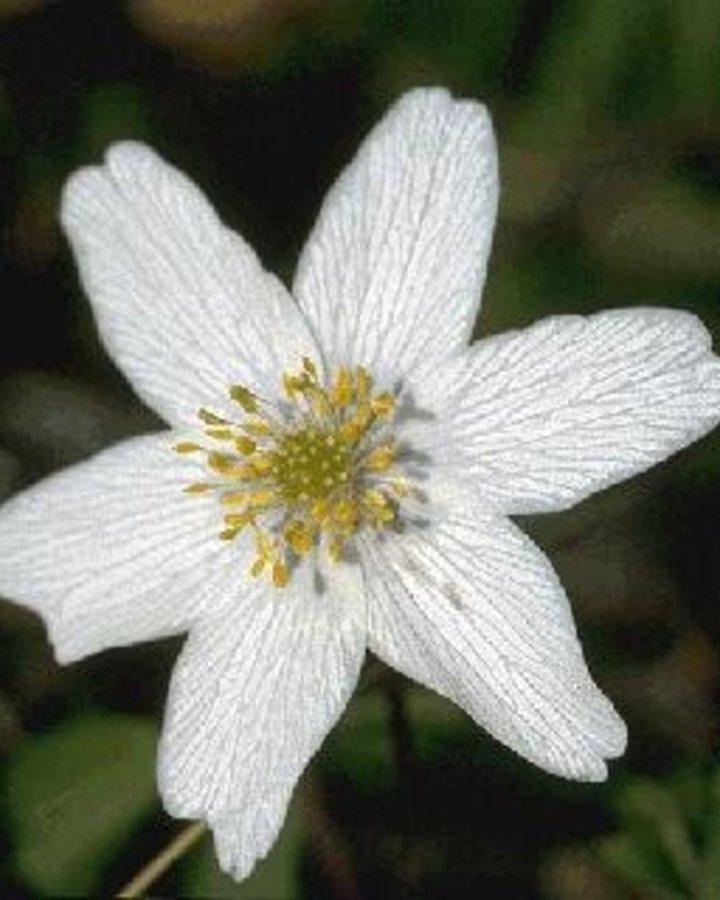 Anemone nemorosa  | Vaste plant