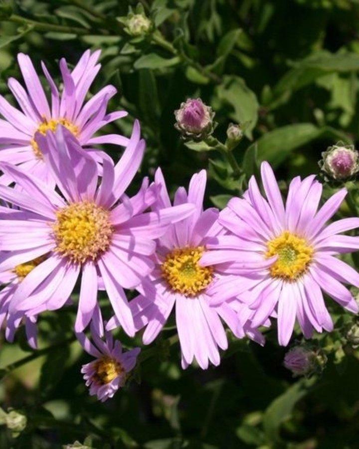 Aster amellus 'Rosa Erfüllung'    Vaste plant