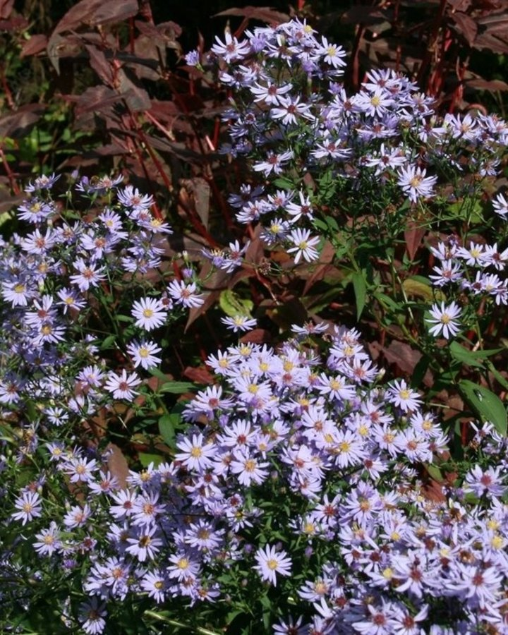 Aster cordifolius 'Little Carlow' / aster