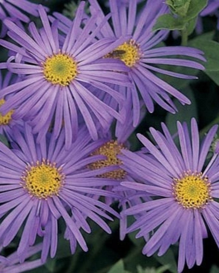 Aster frikartii 'monch'   Alpenaster   Vaste plant
