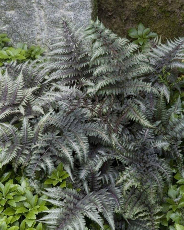 Athyrium niponicum 'Metallicum'   Japanse regenboogvaren    Vaste plant