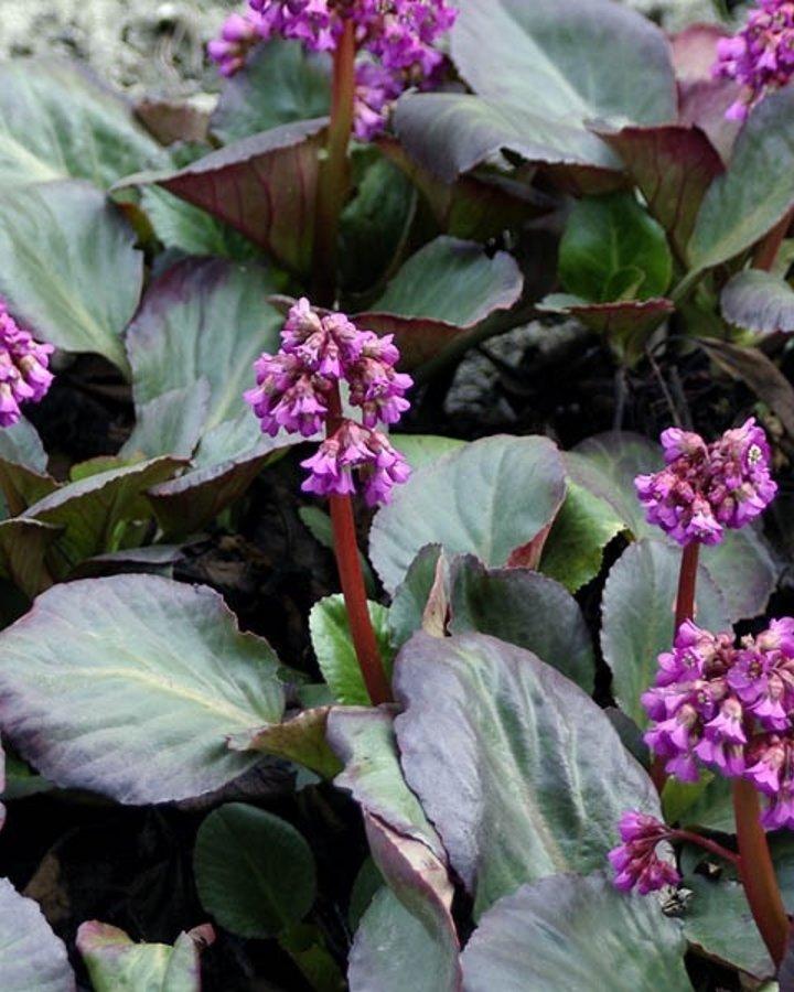 Bergenia cordifolia 'Purpurea'    Heester