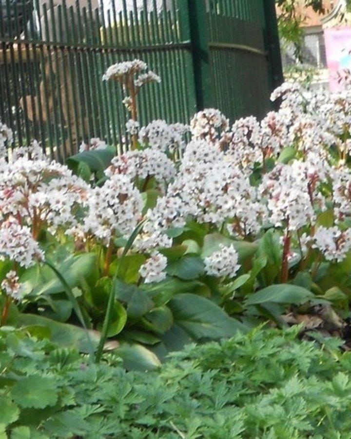 Bergenia 'Silberlicht' | Schoenlappersplant | Vaste plant
