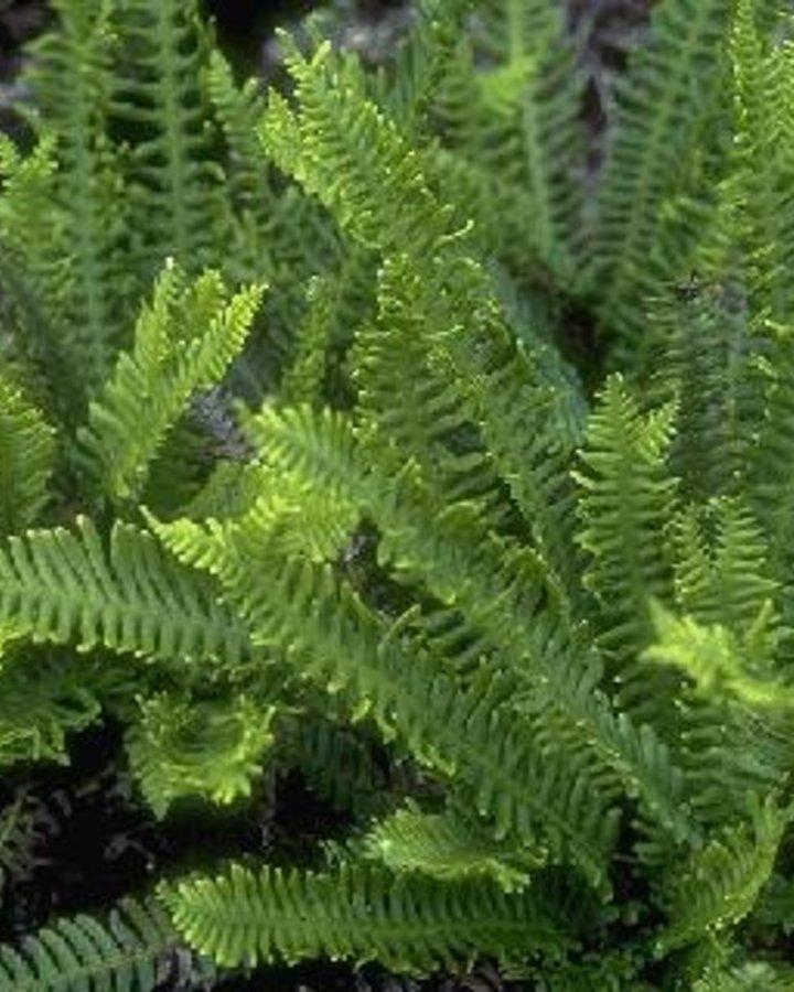 Blechnum spicant / Dubbelloofvaren