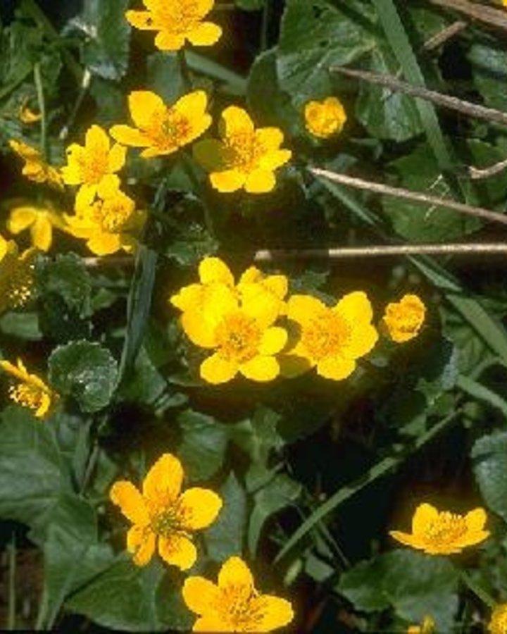 Caltha palustris / Gele dotterbloem