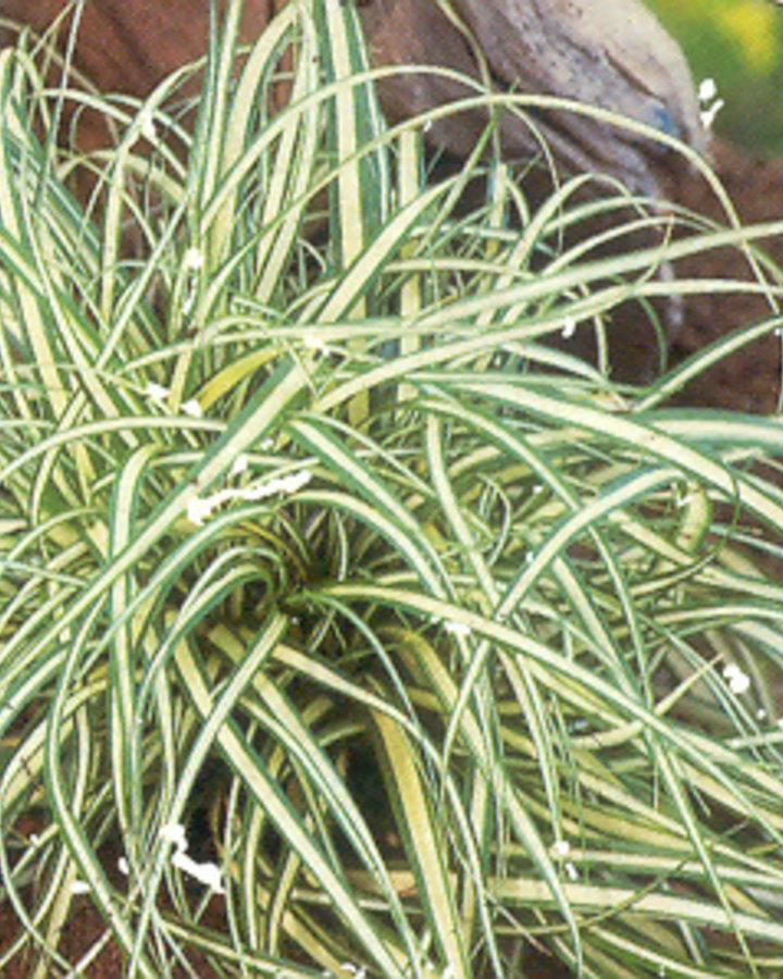Carex oshimensis 'Evergold' / Zegge