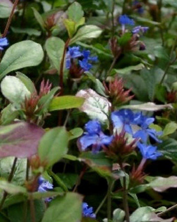Ceratostigma plumbaginoides    Vaste plant