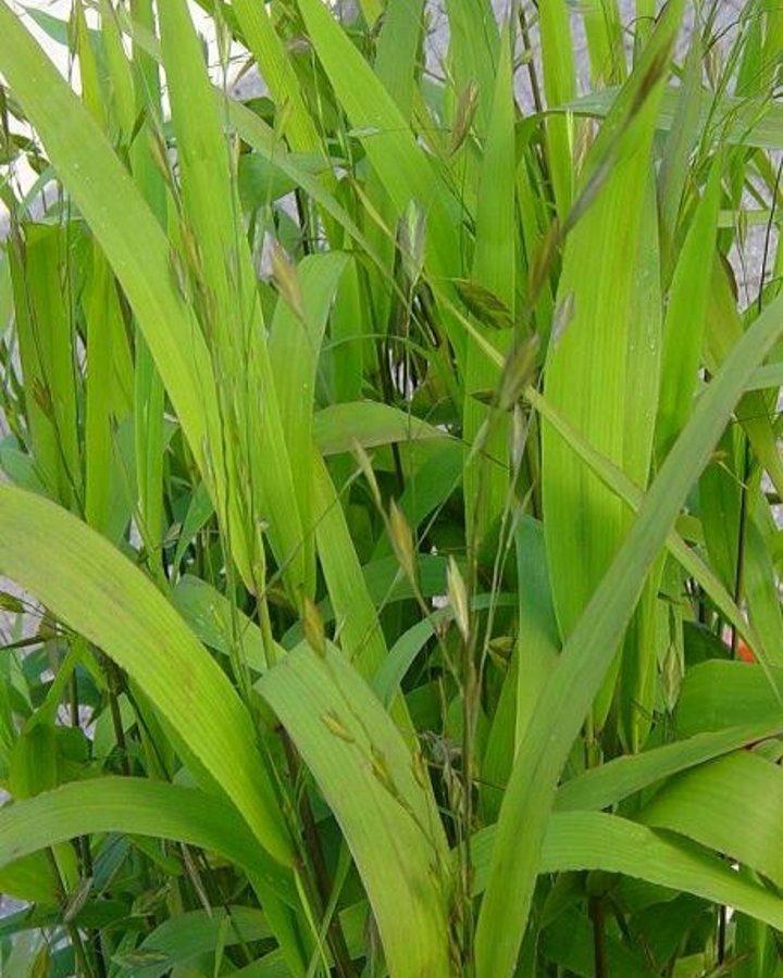 Chasmanthium latifolium / Bamboe