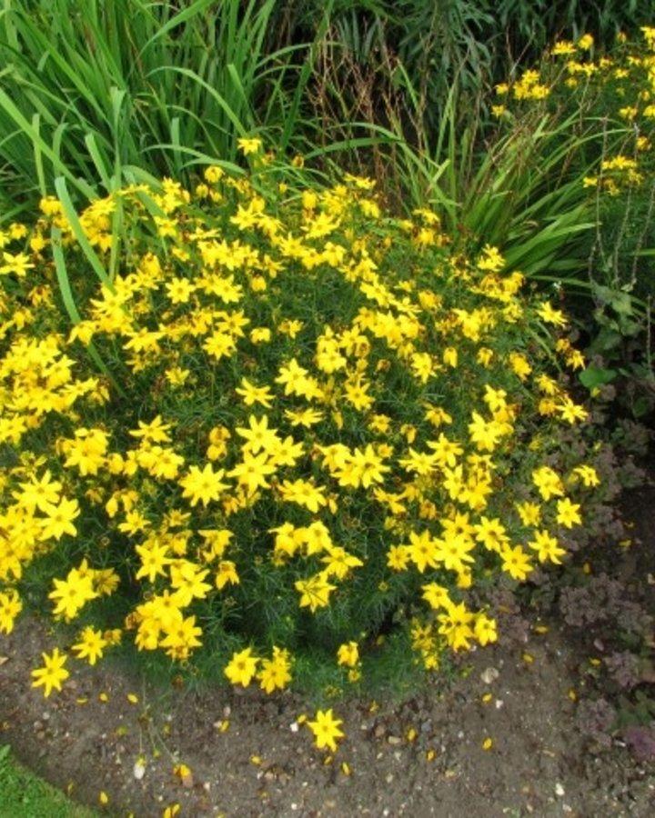 Coreopsis vert. 'Grandiflora' | Meisjesogen
