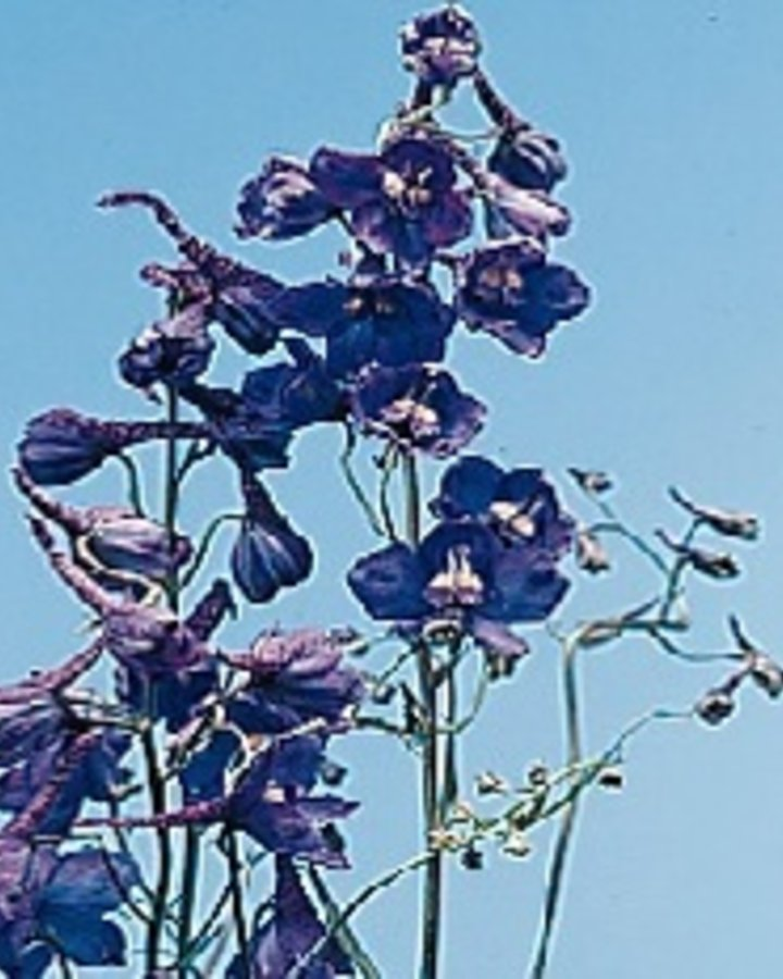 Delphinium (B) 'Bellamosum' | Ridderspoor | Vaste plant