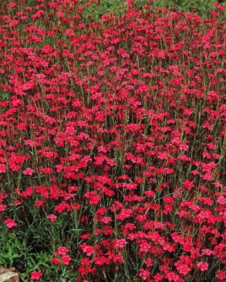 Dianthus delt. 'Brilliant' / Steenanjer