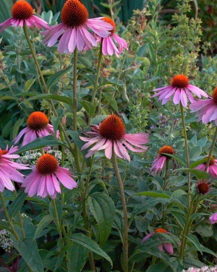 Echinacea purp. 'Magnus' | Zonnehoed | Vaste plant