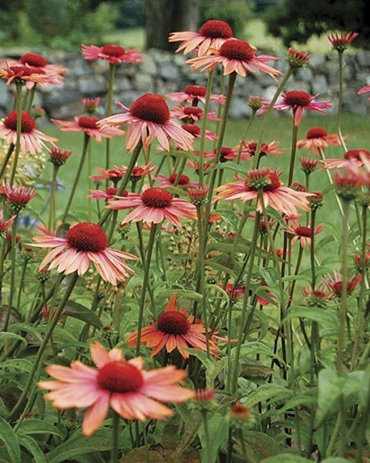 Echinacea purp. 'Sundown'   Zonnehoed   Vaste plant
