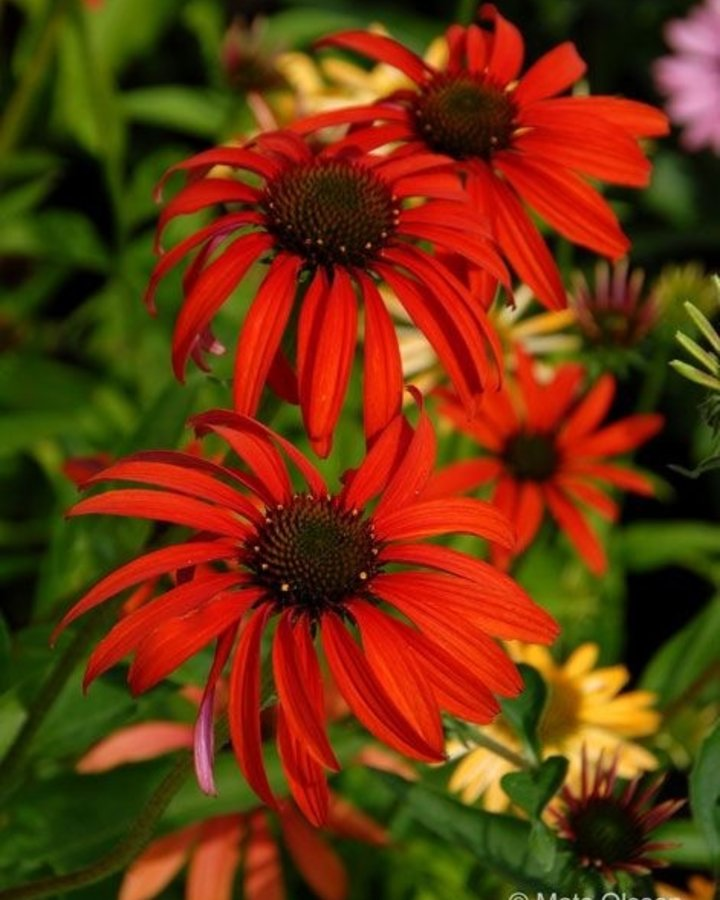 Echinacea purp. 'Tomato Soup' | zonnehoed | Vaste plant