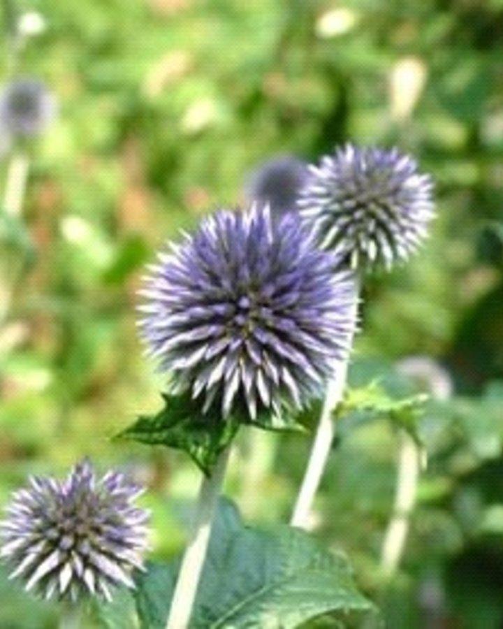 Echinops ritro | Kogeldistel | Vaste plant