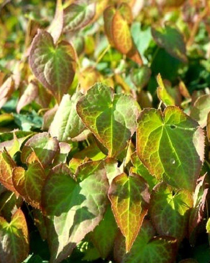 Epimedium rubrum / Linnaeusplant