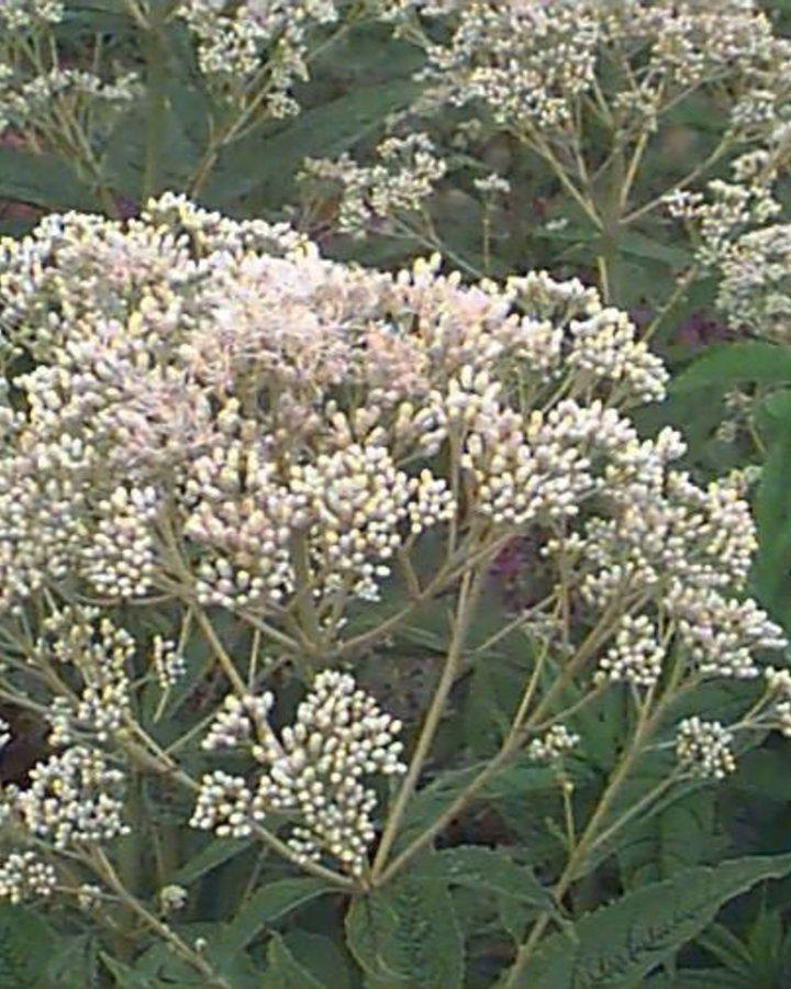 Eupatorium mac. 'Album'   Leverkruid   Vaste plant