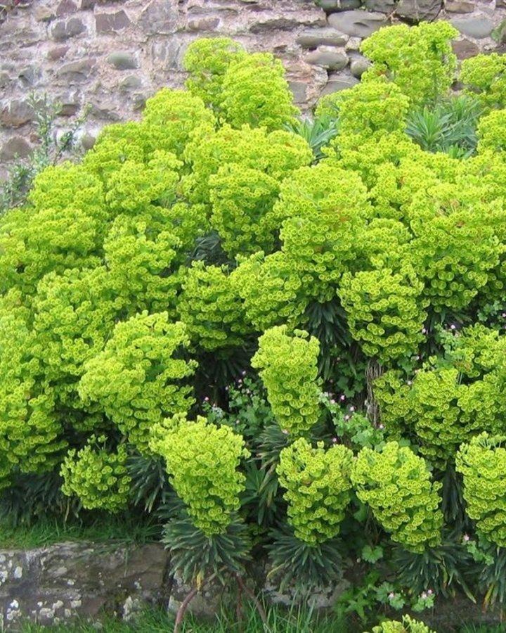 Euphorbia char. wulfenii / Wolfsmelk