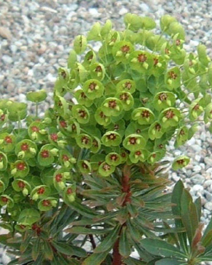 Euphorbia martinii / Wolfsmelk
