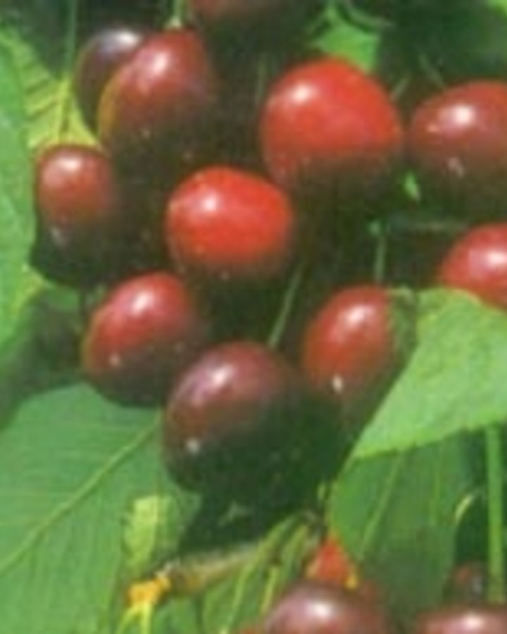 Prunus a. 'Bigarreau Burlat' / Zoete kers