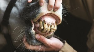 Voertips van Pavo voor paarden met een slecht gebit