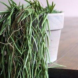 Sierplant Succulent in pot