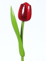 Houten Tulp, Rood Aubergine