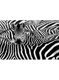 Plexiglas schilderij zebra's