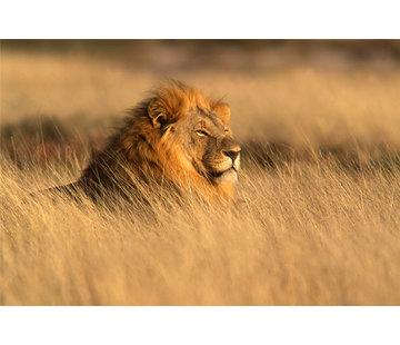 Plexiglas schilderij leeuw in savanne