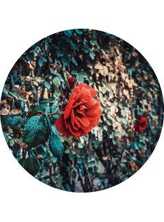 Plexiglas schilderij roos
