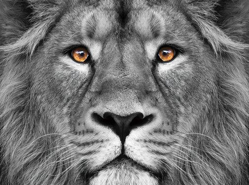 Plexiglas schilderij leeuwenkop