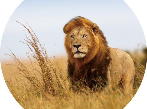 Plexiglas schilderij leeuw