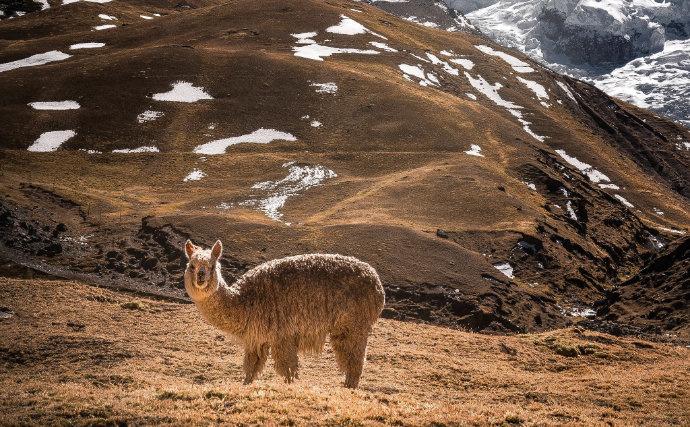 Alpakawolle ist eine der besten der Welt